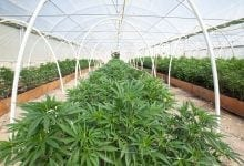 Cannabis Farm