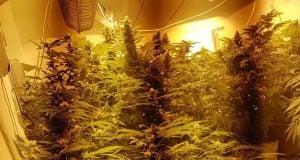 צמחי קנאביס נתפסו באשקלון