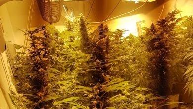 """Photo of """"מעבדת סמים מסוכנים"""": לוחמי יס""""מ תפסו צמחי קנאביס באשקלון"""