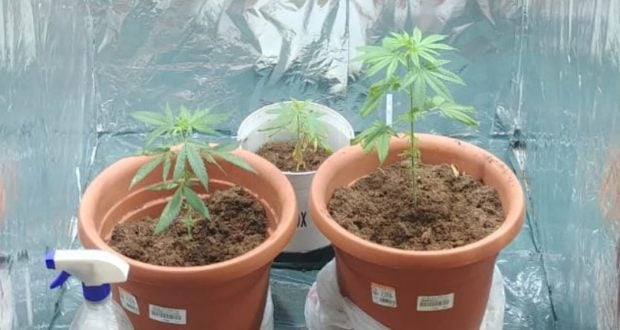 Small cannabis plants