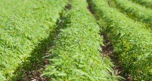 Field Cannabis Industrial Hemp
