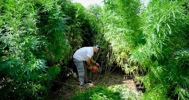 Уничтожение растений каннабиса Зиким