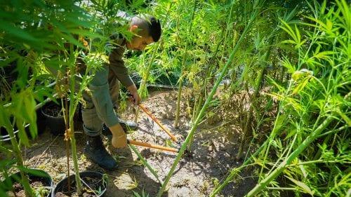 השמדת צמחי קנאביס זיקים