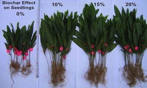 דוגמא לתוצאות יישום ביוצ'אר במינונים שונים בקרקע