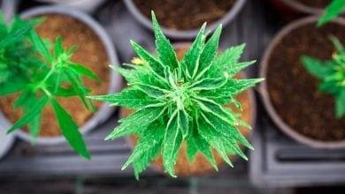 צמחי קנאביס מבט מלמעלה