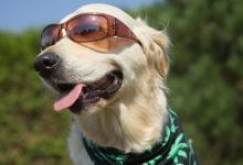 A dog with glasses and a ring of cannabis
