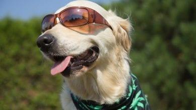 כלב עם משקפיים ובנדנה קנאביס
