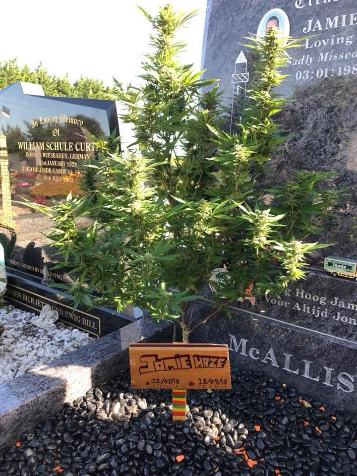 צמח קנאביס על קבר