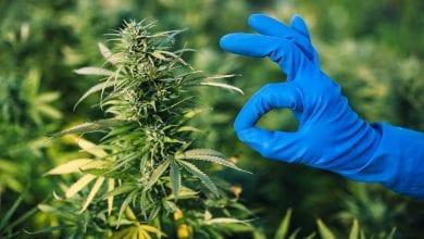 צמח קנאביס רפואי