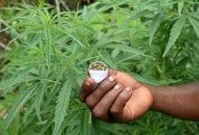 Cannabis dell'Uganda