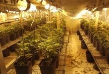 Cannabis plants marijuana marijuana