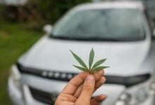 Cannabis rose marijuana against a white car