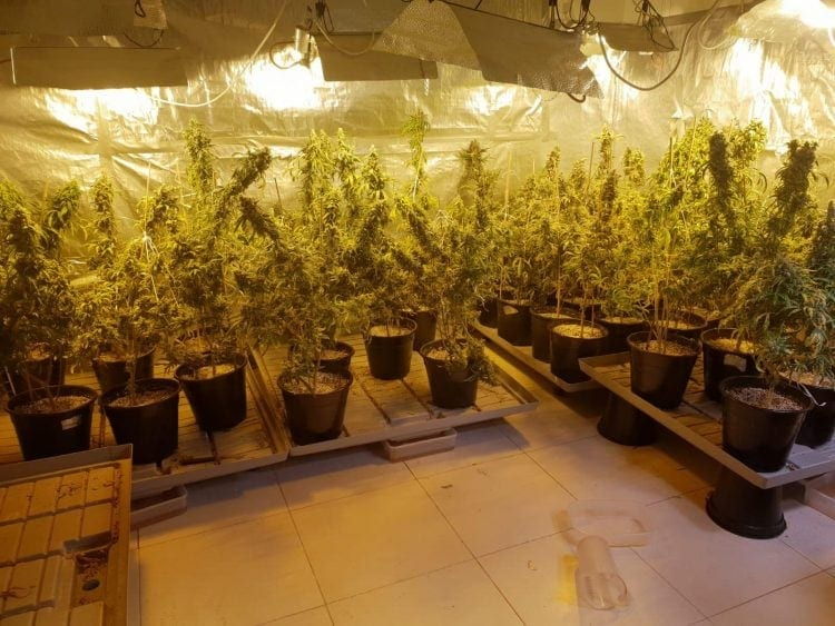 Cannabis plants Ashdod