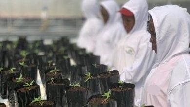 Photo of חברה ישראלית החלה לגדל קנאביס באוגנדה
