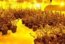 וילה עם צמחי קנאביס אעבלין