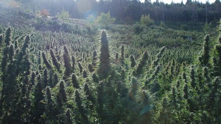 Champ de cannabis dans la chaîne du riff