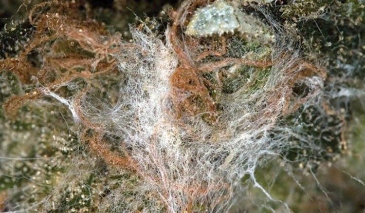 Stampo di Aspergillus su un fiore di Cannabis