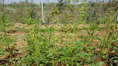 צמחי המפ ישראל