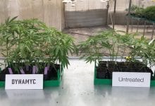 Cannabis growth experiment with mycosis