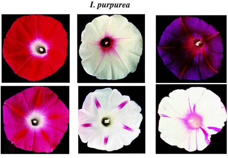Verschillende fenotypen (stammen) van dezelfde soort bloem - Ipomoea purpurea