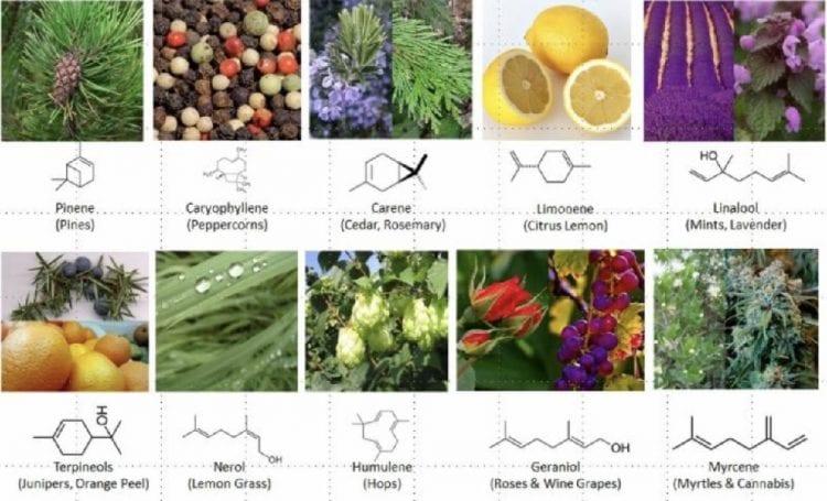 Terrapens zijn verantwoordelijk voor de smaak en geur van verschillende planten, en voor het verschil tussen de geuren van Sativa en die van Indica,