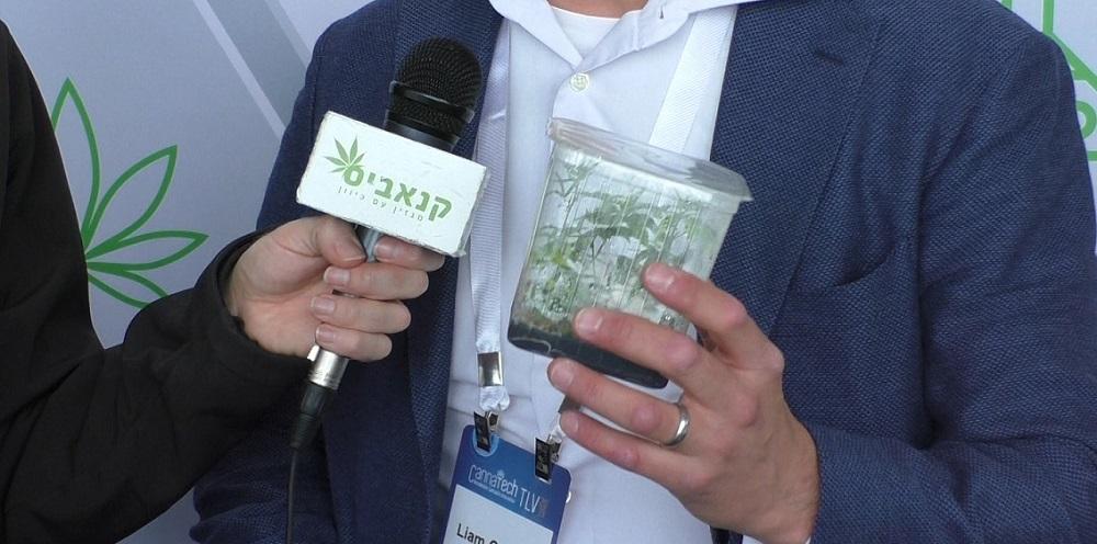 צמחי קנאביס שיוצרו מתרבית רקמה