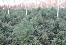 6000 צמחי קנאביס נתפסו בחממה בית יוסף