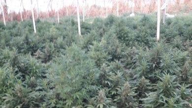 Photo of תפיסת ענק: 6,000 צמחי קנאביס נחשפו בחממה בצפון