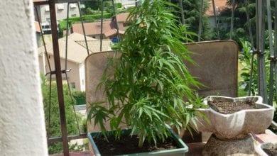 צמח קנאביס מרפסת
