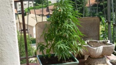 Photo of גידל 8 צמחי קנאביס במרפסת, נענש במאסר על תנאי