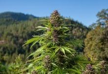 Cannabis purple cannabis plant