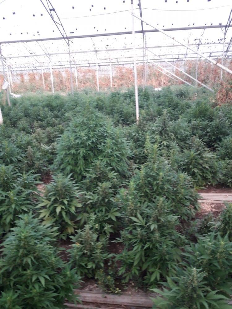 6000 צמחי קנאביס בחממת עגבניות