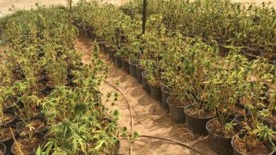 Cannabis Cannabis 22