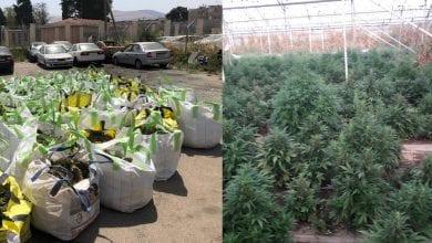 6000 צמחי קנאביס בחממה