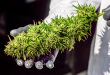 Un grande fiore di cannabis in laboratorio