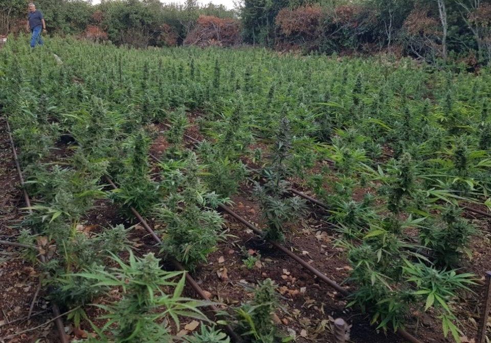 Il campo di cannabis affonderà