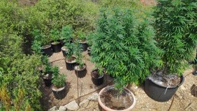 צמחי קנאביס מחלף שפירים