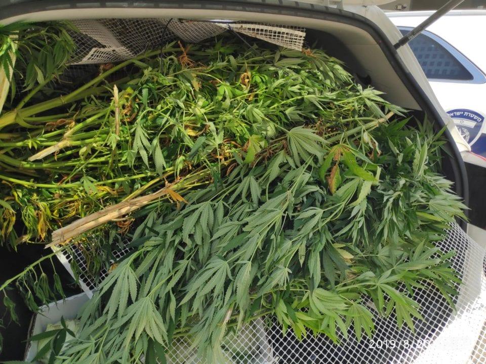 Piante intercambiabili alla cannabis