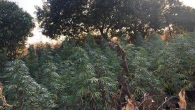 Photo of פרדס חנה: צעירים נתפסו מגדלים קנאביס ביער