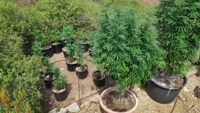 Photo of נהג זיהה 30 צמחי קנאביס ליד מחלף שפירים – ודיווח למשטרה