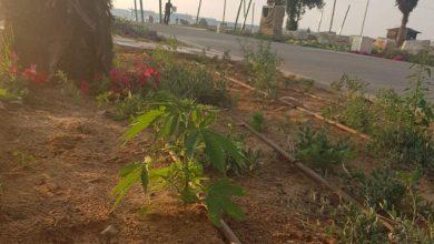 Photo of מחאה מקורית: עשרות צמחי קנאביס נשתלו בטיילת בחדרה