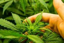 יד מחזיקה בצמח קנאביס