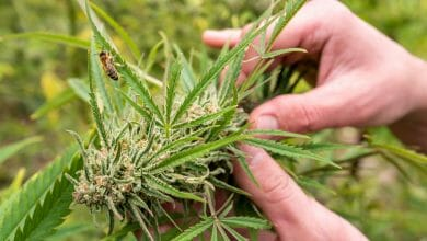 ידיים אוחזות בצמח קנאביס