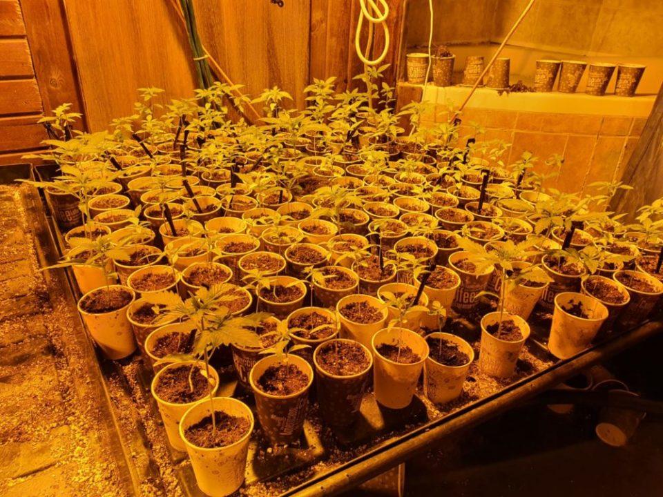 צמחי קנאביס במושב שזור