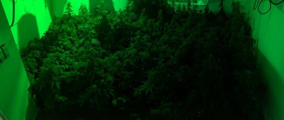 680 צמחי קנאביס ירושלים