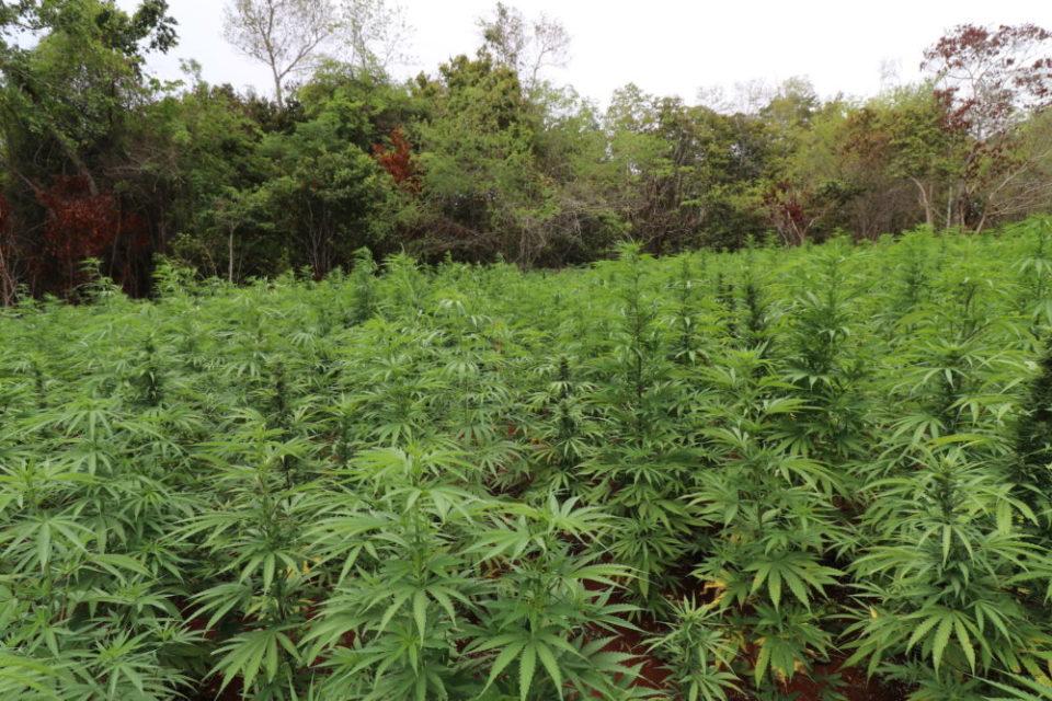 צמח קנאביס ג'מייקה