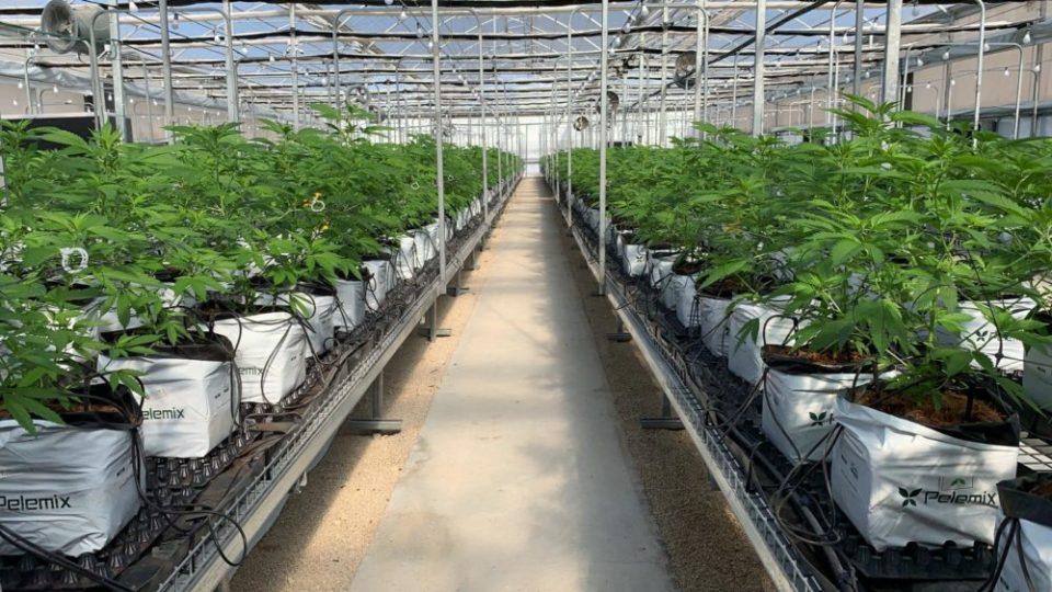 """צמחי קנאביס של """"טוגדר"""" בחממות באוגנדה - בקרוב בישראל"""