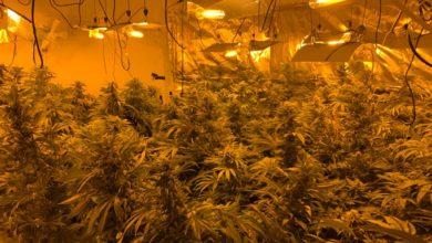 "Photo of ת""א: 358 צמחי קנאביס נתפסו בפשיטת משטרה"