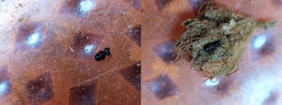 חרק מת בפרח קנאביס רפואי
