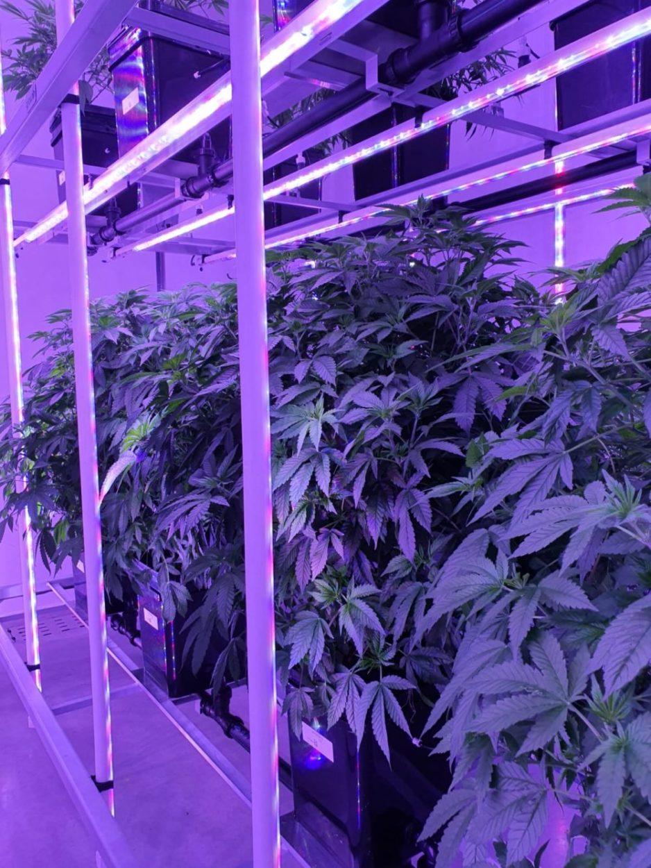 """צמחי הקנאביס של """"קנאשור"""" במתקן הגידול הסגור (אינדור) באשדוד"""